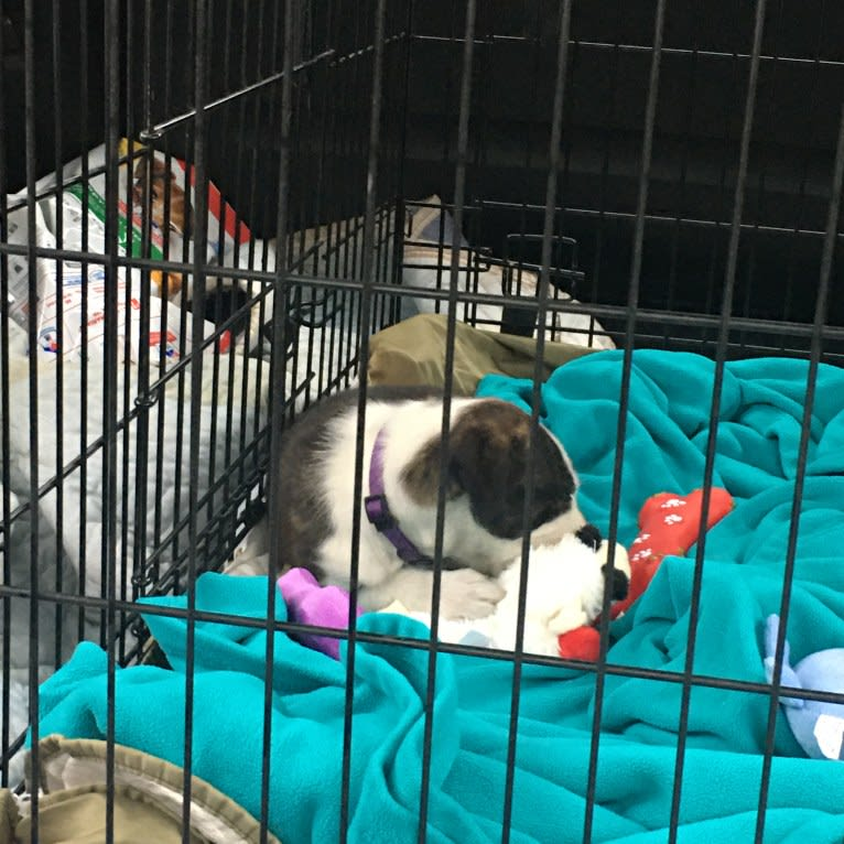 Photo of Maggie, an American Pit Bull Terrier, American Staffordshire Terrier, Pekingese, and Mixed mix in Georgia, USA