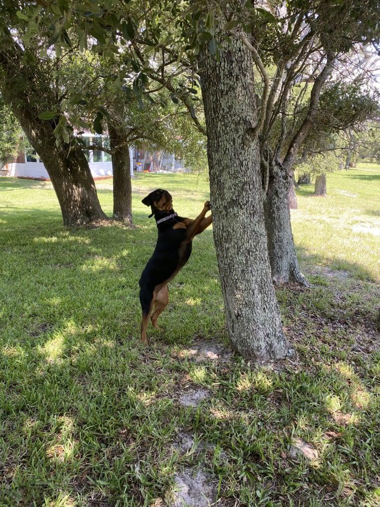 Photo of Lulu, a Rottweiler  in Laredo, Texas, USA