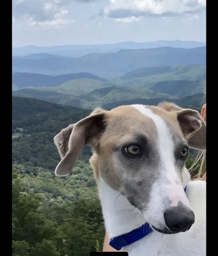 Photo of Murphy, a Greyhound, Whippet, and Mixed mix in Greensboro, North Carolina, USA