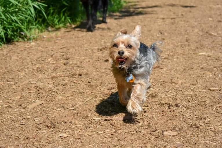 Photo of Milo, a Miniature Schnauzer, Biewer Terrier, Yorkshire Terrier, and Chihuahua mix in Burien, Washington, USA