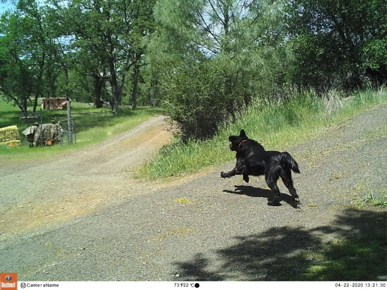 Photo of Big, a Flat-Coated Retriever  in Merlin, OR, USA