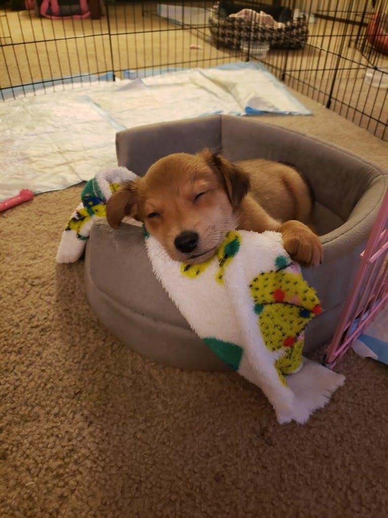 Photo of Brody, a Chihuahua, Dachshund, Pomeranian, and Mixed mix in Tacoma, WA, USA