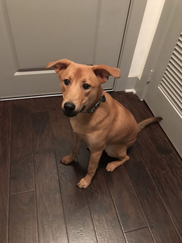 Photo of Apollo, an American Pit Bull Terrier, Chow Chow, Great Pyrenees, Rottweiler, and Mixed mix in Houston, Texas, USA