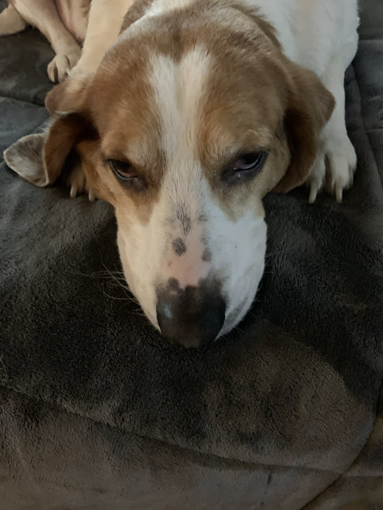 Photo of Beau, a Beagle, Treeing Walker Coonhound, and American Foxhound mix in South Carolina, USA