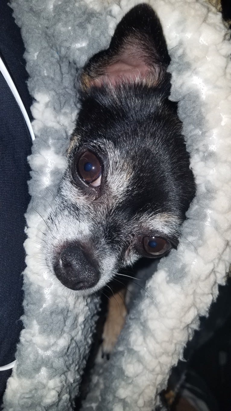 Photo of Phoebe Cakes Cordeiro, a Chihuahua and Mixed mix in Moorpark, California, USA