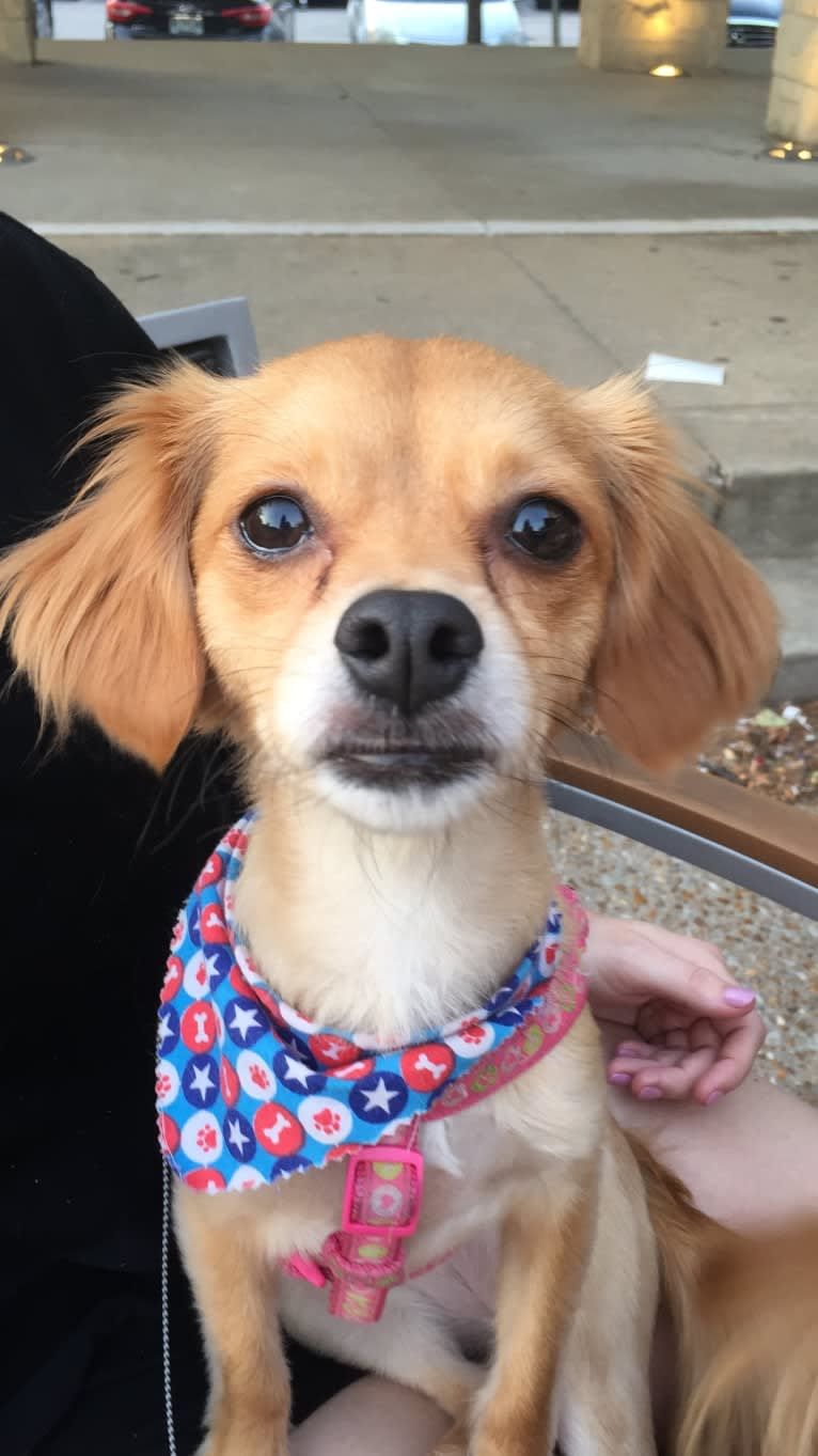 Photo of Cali Forbess, a Chihuahua, Beagle, Poodle (Small), Dachshund, and Pomeranian mix in St. Louis, MO, USA