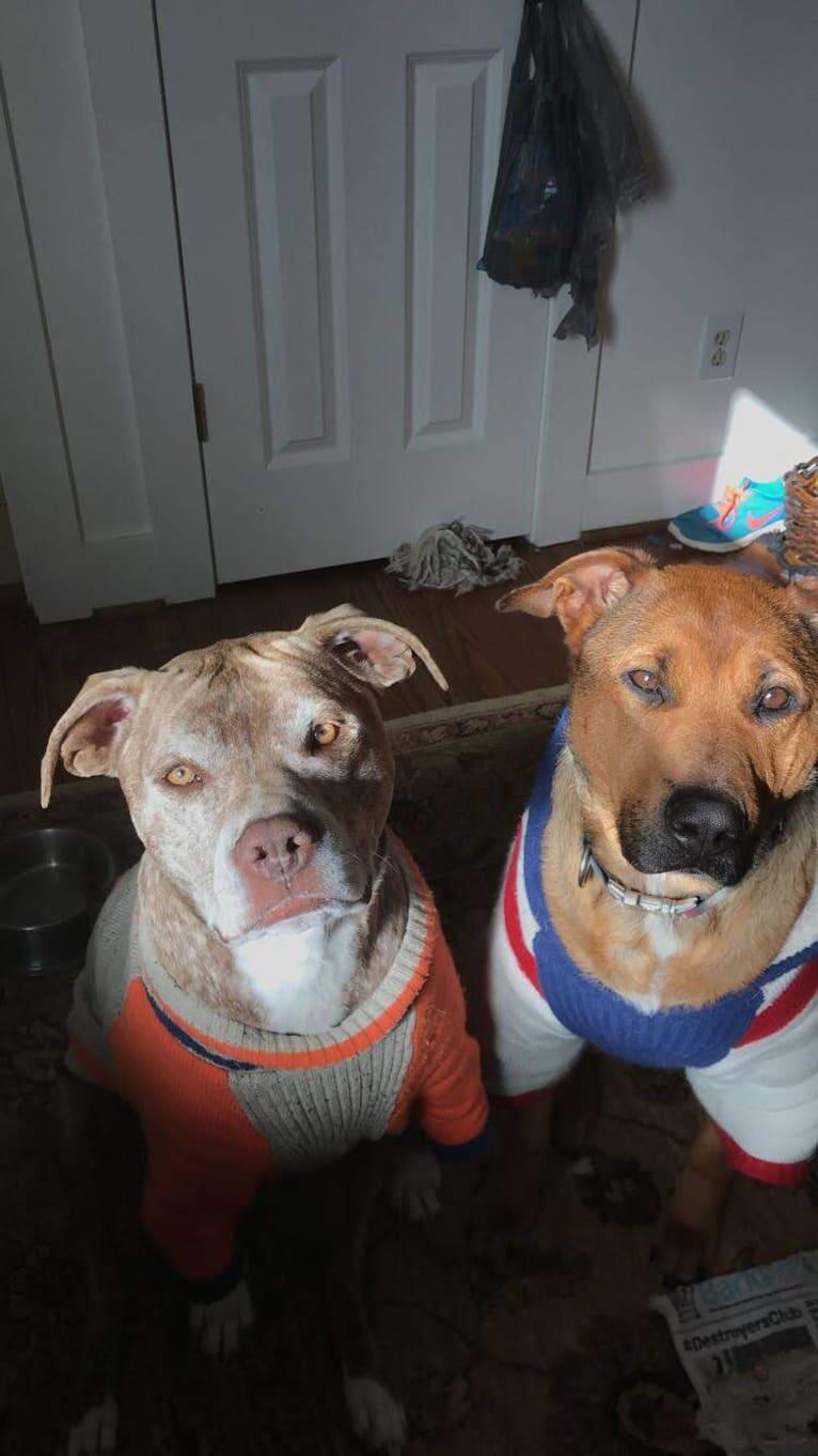 Photo of Samoa, a German Shepherd Dog and American Pit Bull Terrier mix in Atlanta, Georgia, USA