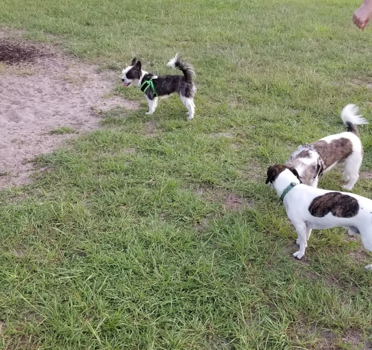 Photo of Peg, a Maltese, Boston Terrier, and French Bulldog mix in Orlando, Florida, USA