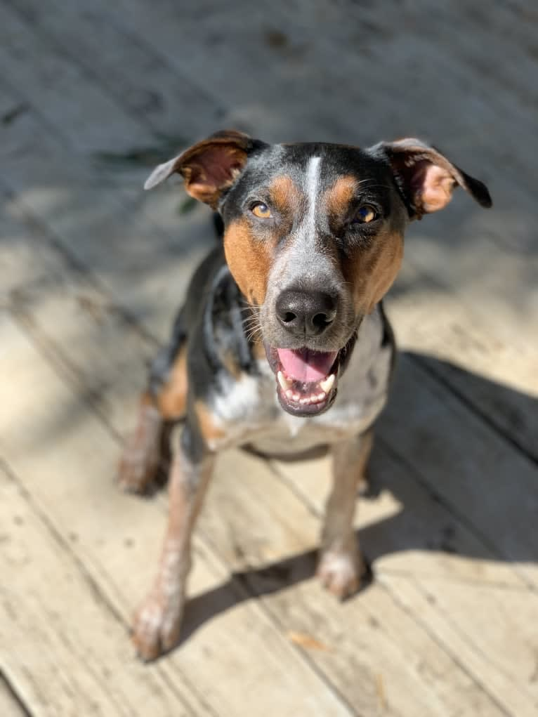Photo of Rally Howell, an Australian Shepherd, Treeing Walker Coonhound, Australian Cattle Dog, and American English Coonhound mix in Augusta, Georgia, USA