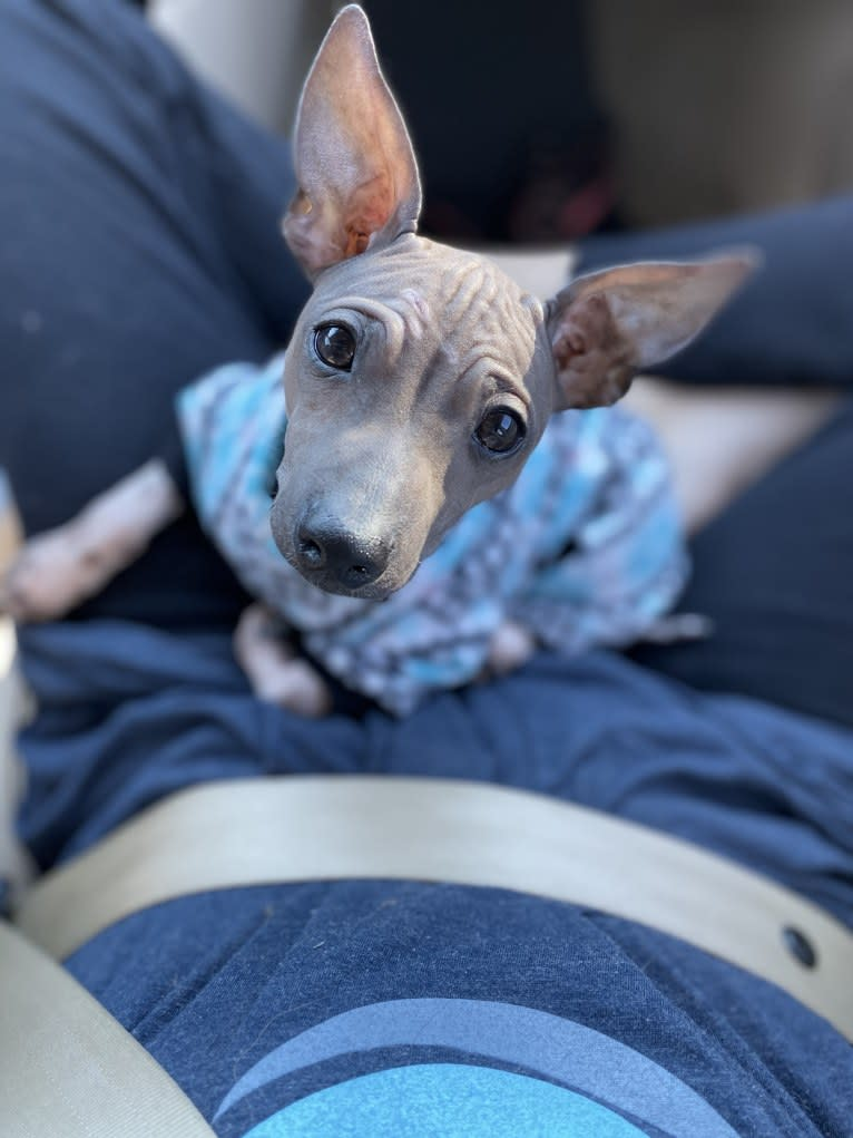 Photo of DREAMEYCE IMAGINE MY SURPRISE, an American Hairless Terrier  in Texas, USA