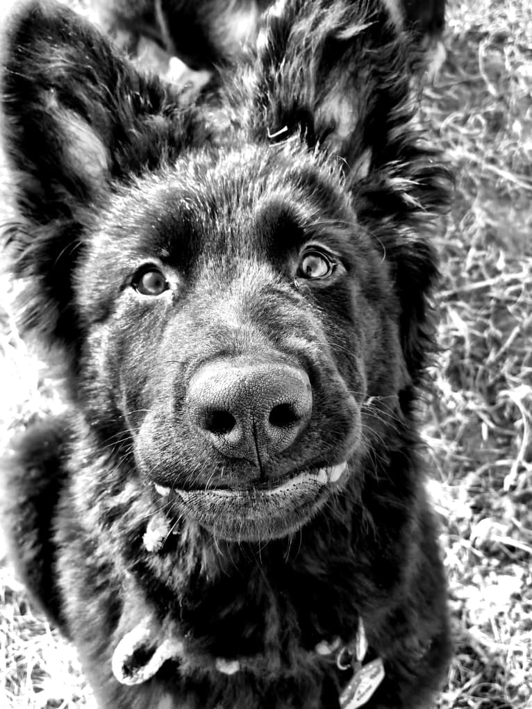 Photo of Valor Vom Hof Grebe, a German Shepherd Dog  in Netphen, Germany