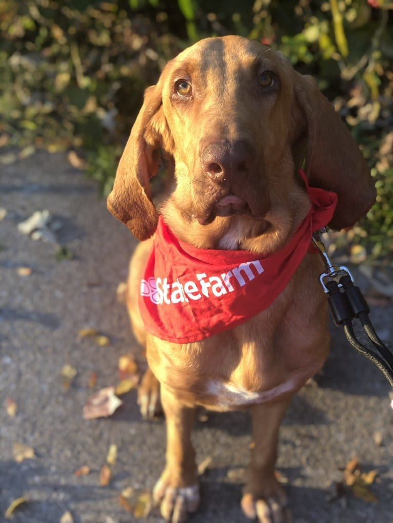 Photo of Penny, a Bloodhound  in Des Moines, IA, USA