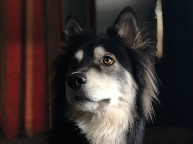 Photo of Klaus, a Siberian Husky and Border Collie mix in Kentucky, USA