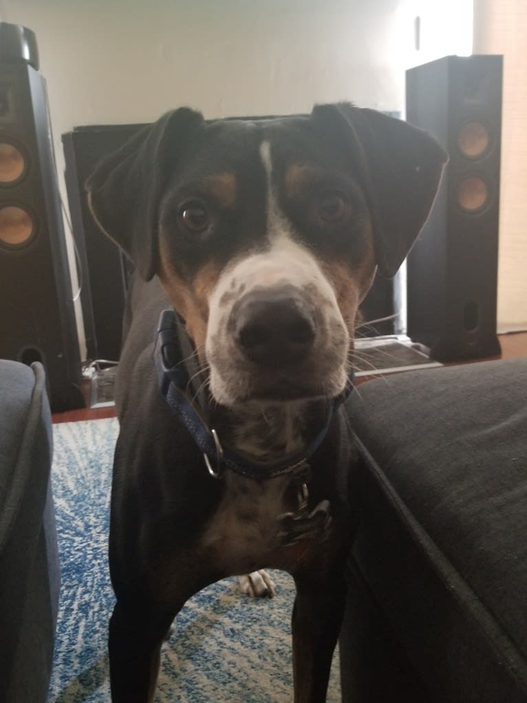 Photo of Dozer, a Catahoula Leopard Dog  in Tennessee, USA