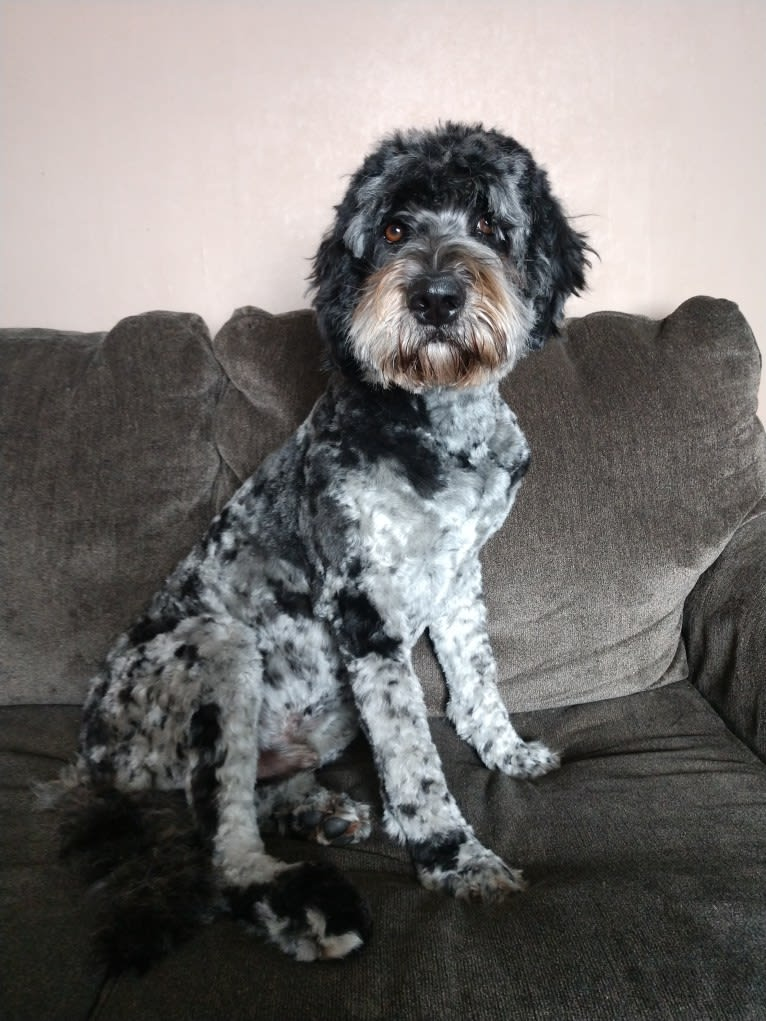 Photo of Oakely, a Labradoodle