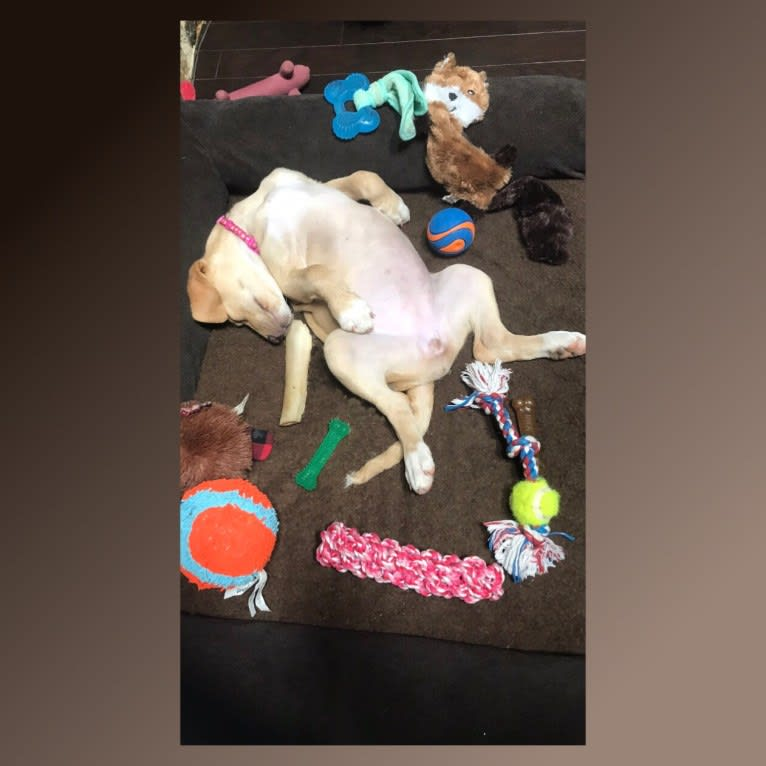 Photo of Willow, a Labrador Retriever, Treeing Walker Coonhound, Bluetick Coonhound, and Mixed mix in North Carolina, USA