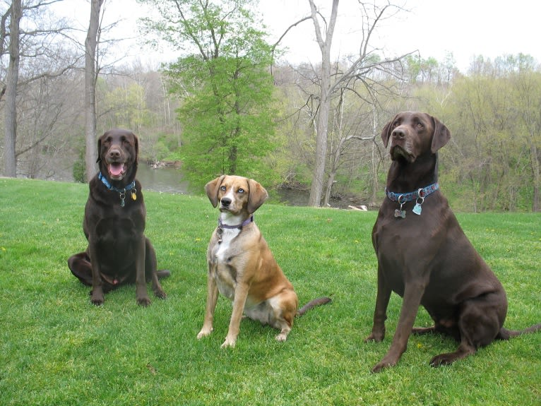 Photo of Reba, a Labrador Retriever, Cocker Spaniel, and Mixed mix in Meadville, Pennsylvania, USA