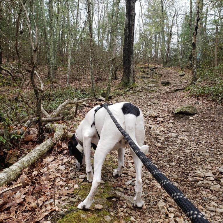 Photo of Dublin, an American Foxhound, Labrador Retriever, Chow Chow, Beagle, and Mixed mix in Tabor City, North Carolina, USA