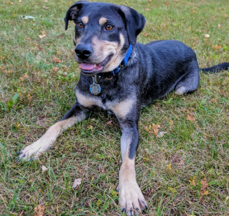 Photo of River, a Catahoula Leopard Dog, Labrador Retriever, and Mixed mix in Lake Luzerne, New York, USA