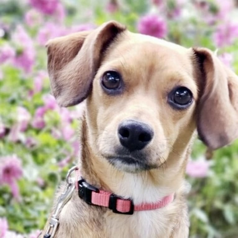 Photo of Penny, a Rat Terrier and Cocker Spaniel mix