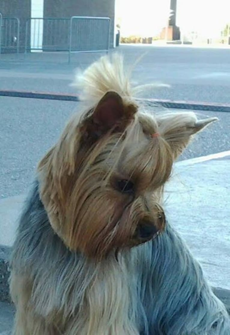 Photo of Dealer, a Yorkshire Terrier