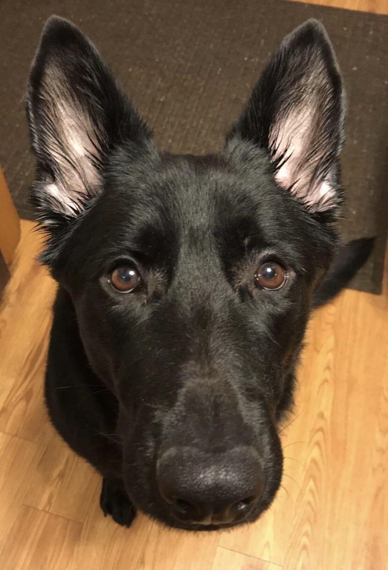 Photo of Amika, a German Shepherd Dog  in Texas, USA