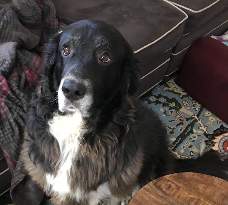 Photo of Molly, a Great Pyrenees and Labrador Retriever mix in Mountain Top, Pennsylvania, USA