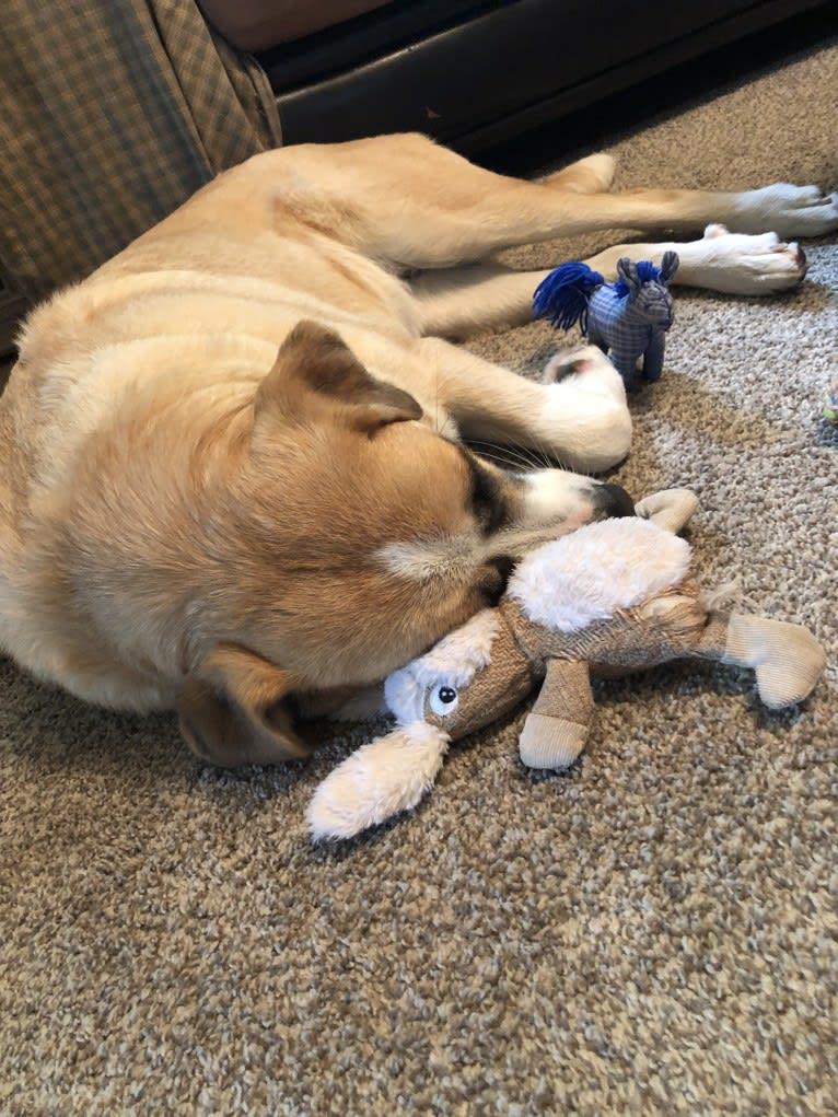 Photo of Anika, a Great Pyrenees, Labrador Retriever, Siberian Husky, and German Shepherd Dog mix in Illinois, USA