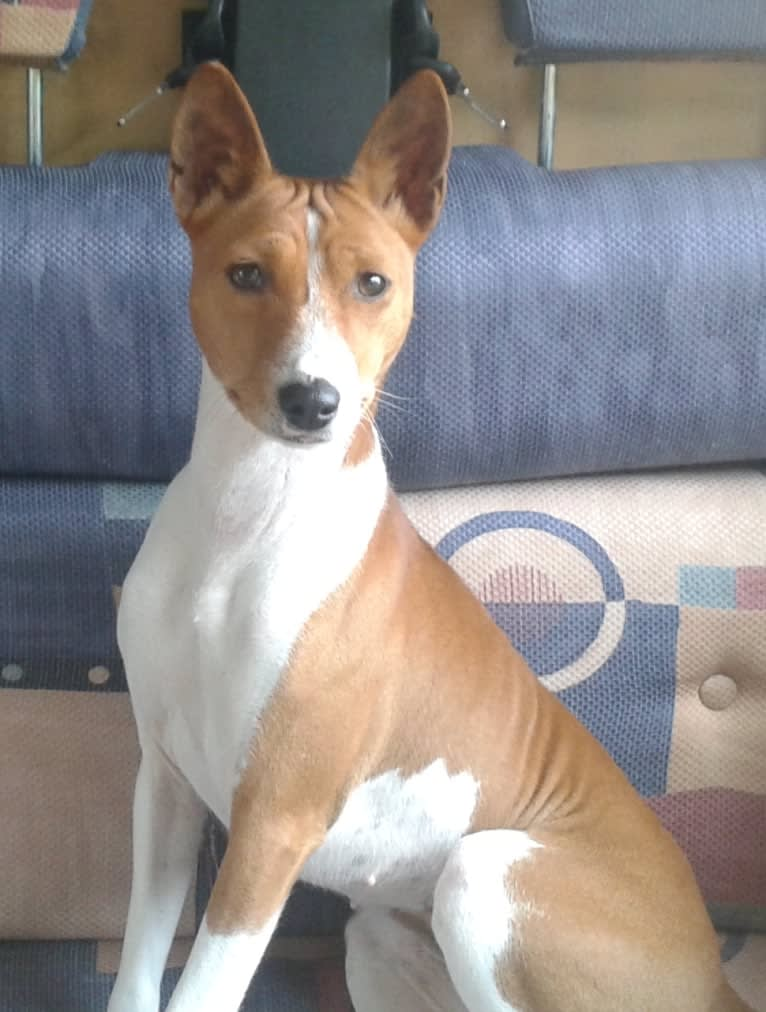 Photo of Fari, a Basenji  in Netherlands
