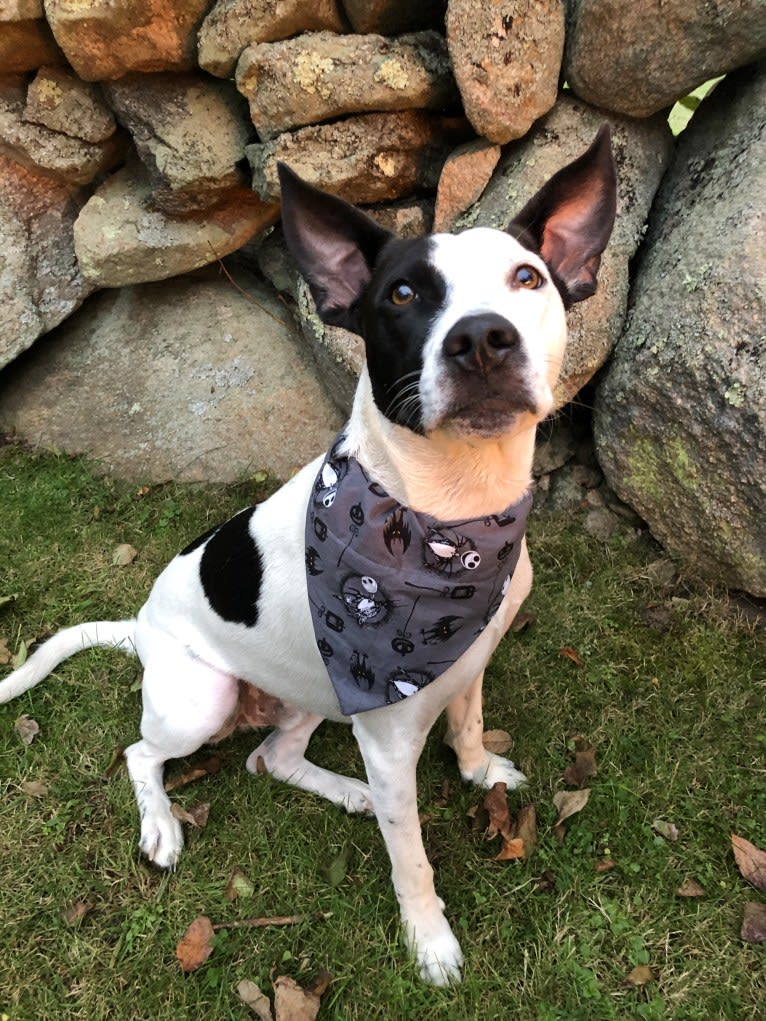 Photo of Merlin, an American Staffordshire Terrier, Australian Cattle Dog, and Chihuahua mix in Texas, USA