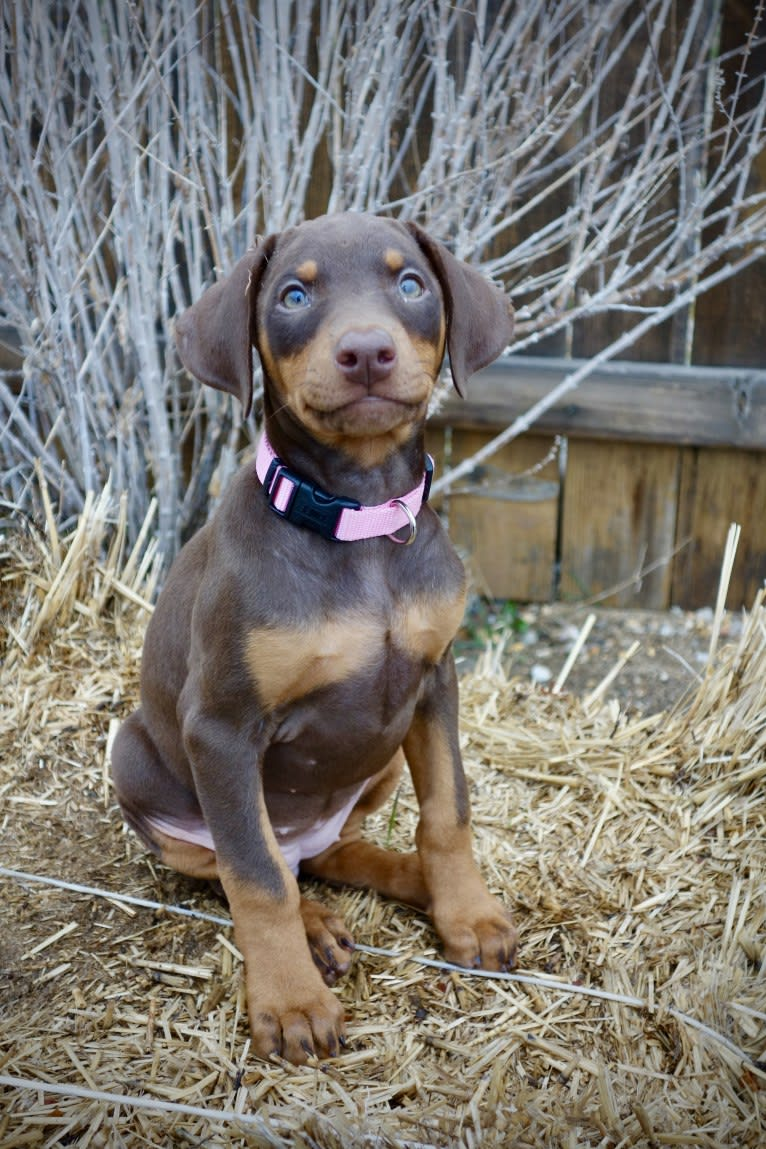 Photo of Luna, a Doberman Pinscher  in Pe Ell, WA, USA