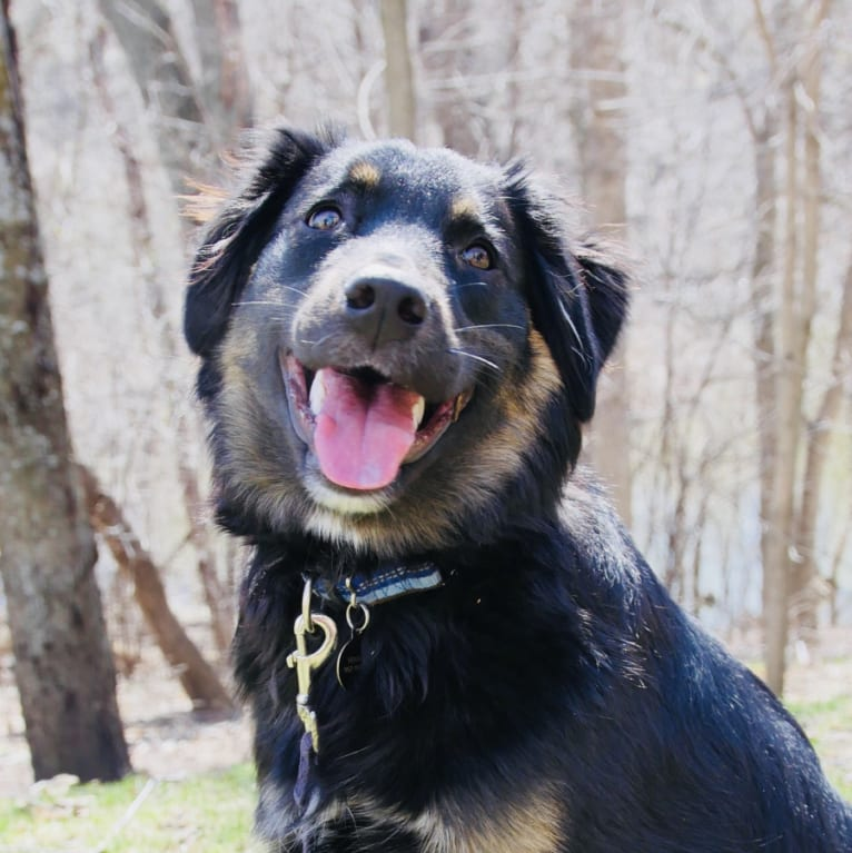 Photo of Fenwick, a Border Collie, Labrador Retriever, Golden Retriever, Boxer, and Australian Shepherd mix