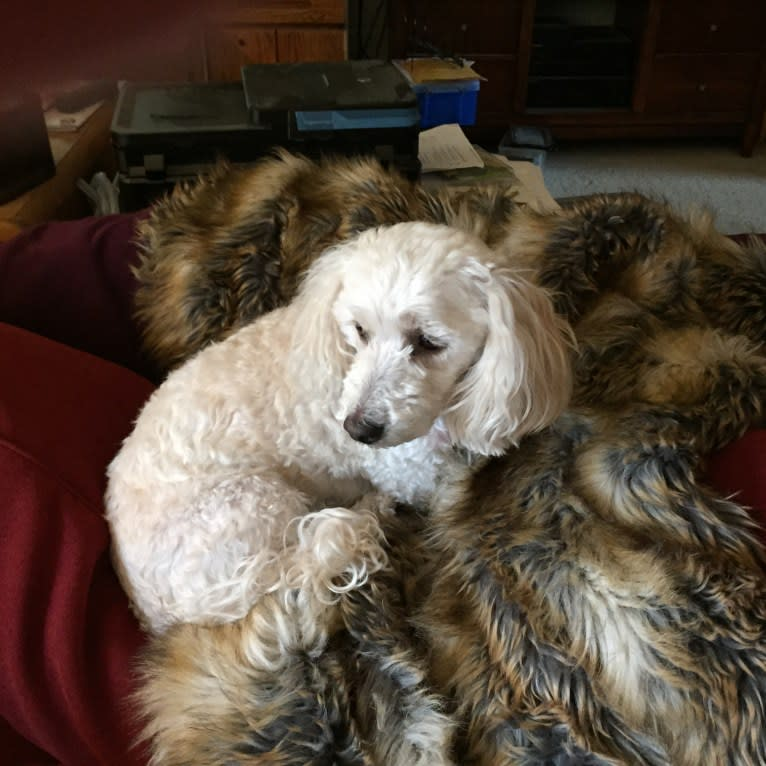 Photo of Selena, a Poodle (Small), Shih Tzu, Cocker Spaniel, and Mixed mix