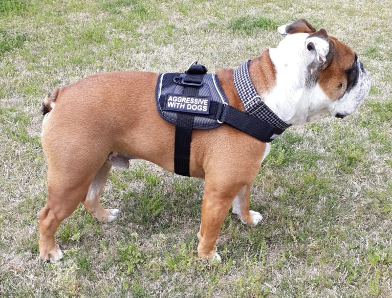 Photo of Simpson Farm's Southern Tater, an Olde English Bulldogge  in Abbeville, SC, USA