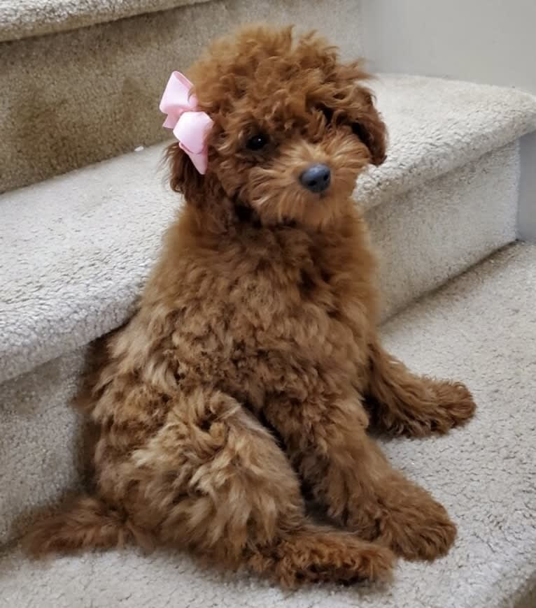 Photo of Brunhilde (Hilde), a Poodle (Small)  in Tulsa, OK, USA