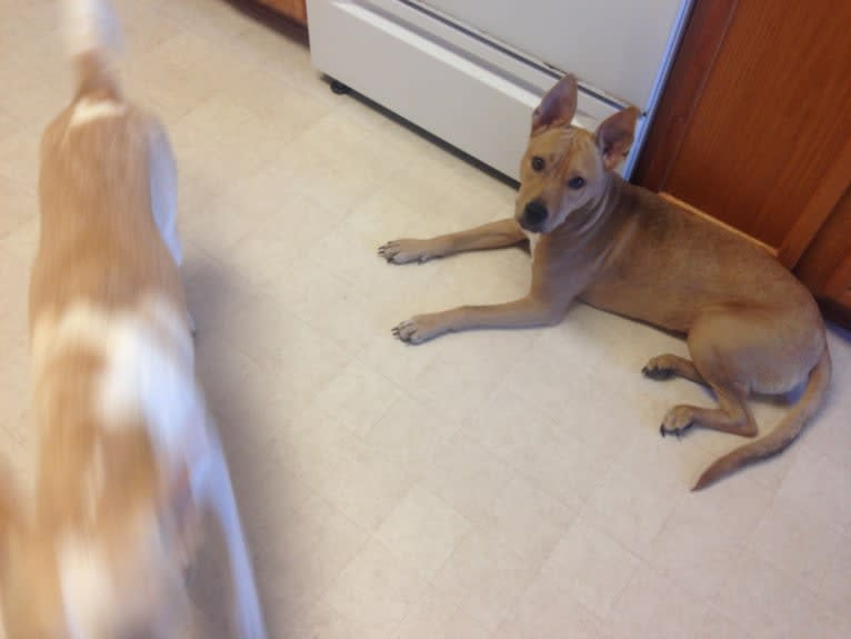 Photo of Callie, an American Pit Bull Terrier, Australian Cattle Dog, and Chow Chow mix in McKinney, Texas, USA