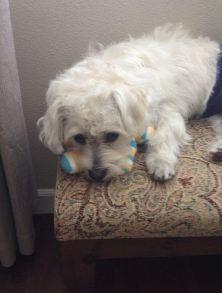 Photo of Oliver, a Poodle (Small), Pug, Pekingese, and Mixed mix in Downey, California, USA