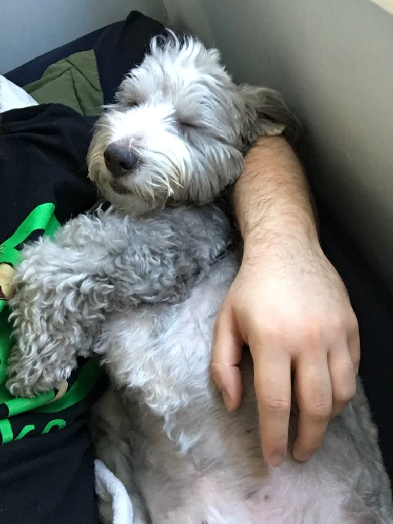 Photo of Griffin, a Poodle (Small), Coton de Tulear, Maltese, and Mixed mix in New York, USA