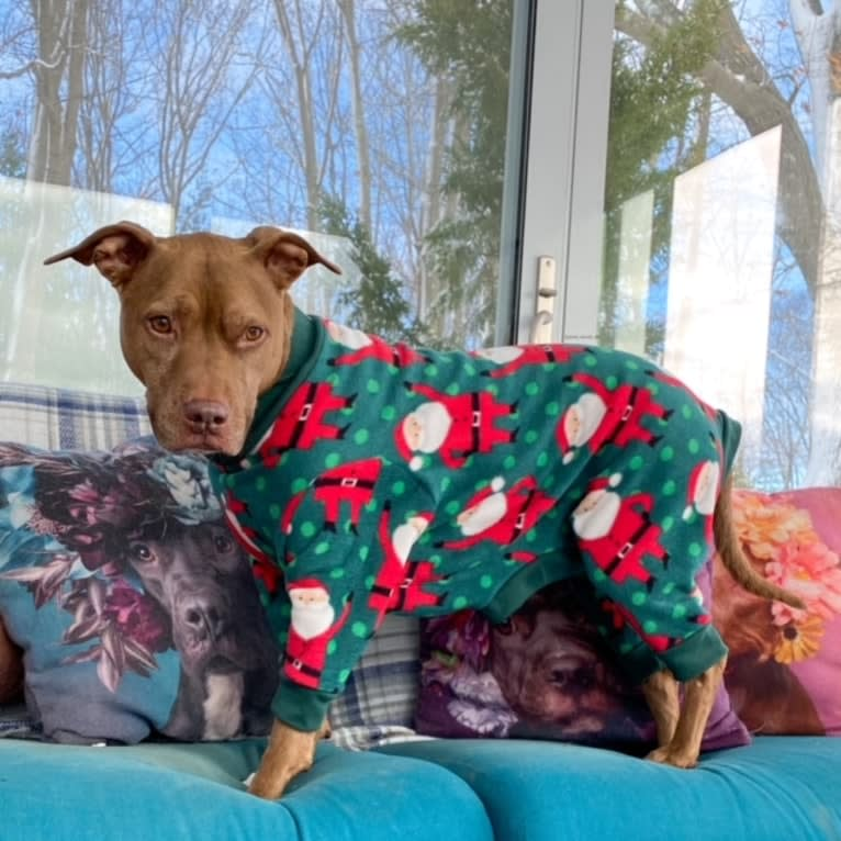 Photo of Blueberry, an American Pit Bull Terrier and American Staffordshire Terrier mix in Tennessee, USA