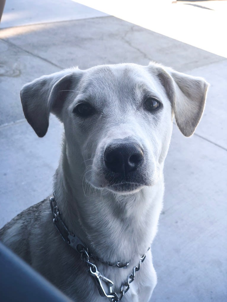 Photo of Rex, a Chihuahua, American Pit Bull Terrier, German Shepherd Dog, and Mixed mix in Fresno, California, USA