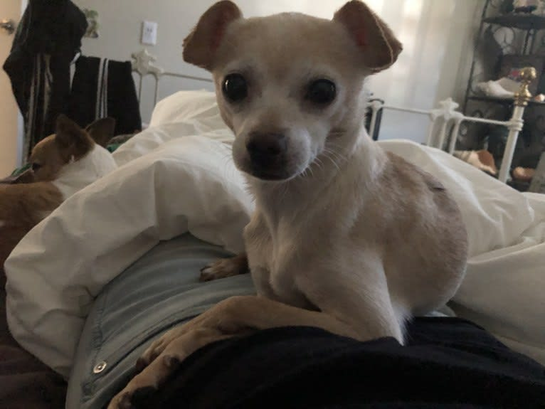 Photo of GURU, a Chihuahua, Pomeranian, Poodle (Small), and Mixed mix in Hollister, California, USA