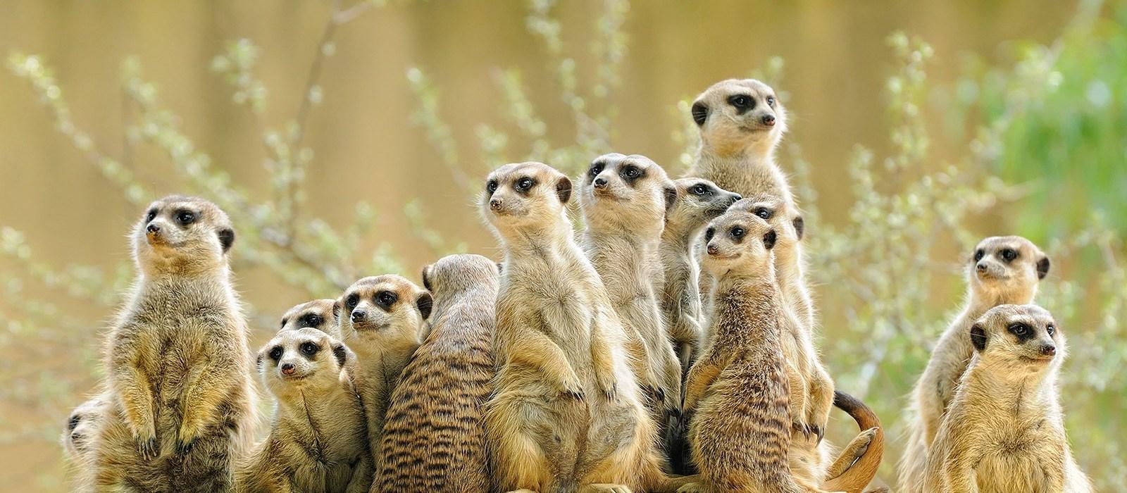 Kalahari Wüste: Zutrauliche Erdmännchen
