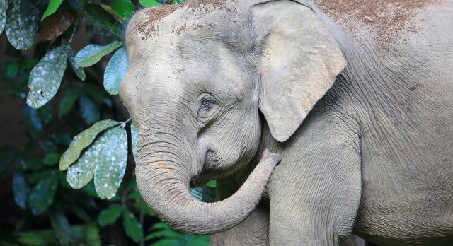 Malysian Pygmy Elephants
