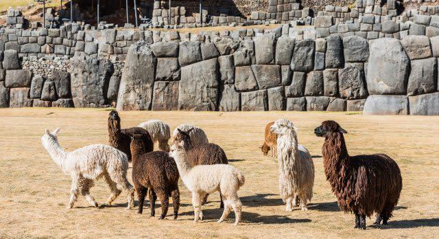 Guanacos in Cusco