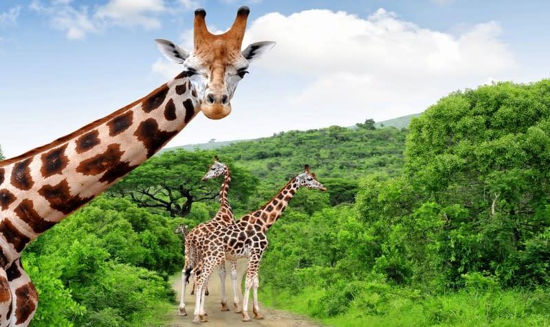 Auf einer Südafrika Safari begegnen Ihnen auch Giraffen