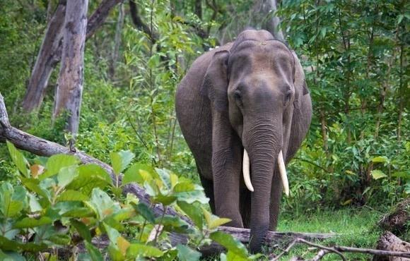 Elefant schreitet durch den Wald im Nagarhole-Park, Indien