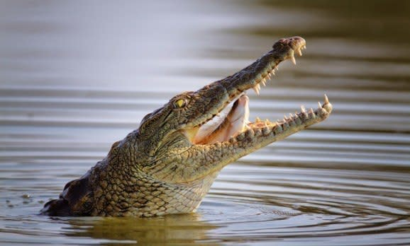 Ein Krokodil frisst einen Fisch im Krüger Nationalpark