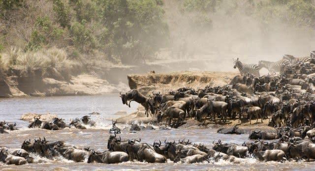 Gnus und Zebras kreuzen einen Fluss bei der Tierwanderung