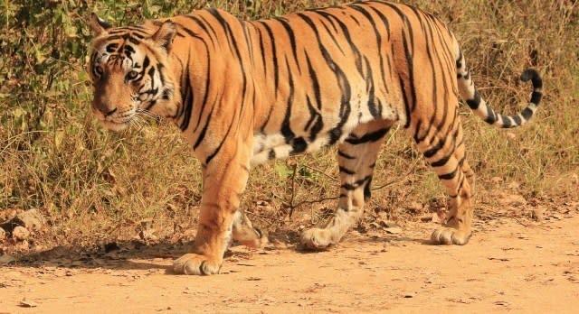 Tiger im Dschungel von Indien