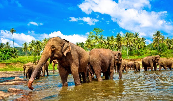 Elefanten durchqueren einen Fluss, Sri Lanka